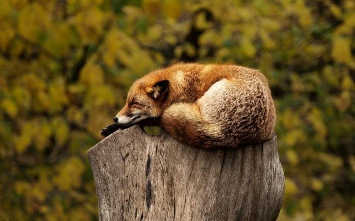 foxsleeping