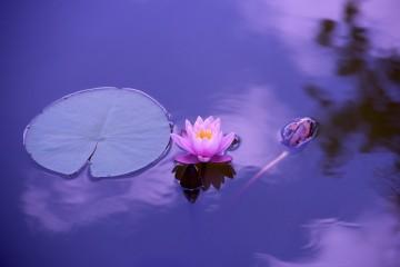 pondflower