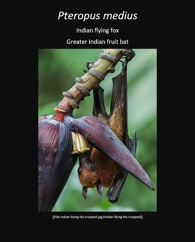 indianflyingfox